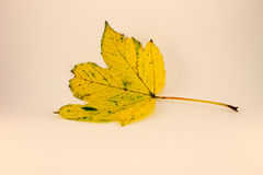 Yellow leaf. Leaf on white background, isolated Stock Photos