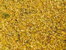 Yellow leafes that fell from trees on ground stock photography