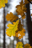 Yellow leafes on a tree Royalty Free Stock Images