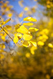Yellow leafs. Close up with autumn leafs stock image