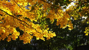Yellow leafs in autumn city park stock video footage