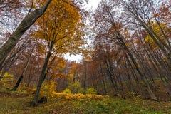Yellow leafs of beech, Vitosha Mountain, Bulgaria Royalty Free Stock Photo