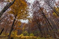 Yellow leafs of beech, Vitosha Mountain, Bulgaria Royalty Free Stock Photos