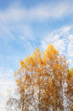 Yellow leafs of Birch tree on sky background Royalty Free Stock Photography