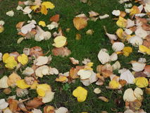 Yellow leafs on green grass Stock Photos