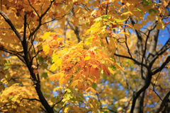 Yellow leafs on tree. Gold fall, september Stock Image