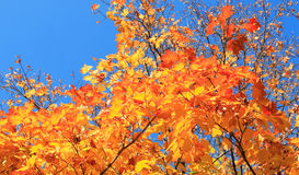 Yellow leafs on tree. Gold fall, september Stock Photography
