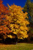 Yellow leafs on tree in autumn, october Stock Images