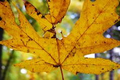 Yellow leave. Up close on a sunny autumn day Royalty Free Stock Photos