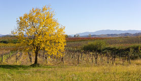 Yellow Leaved Tree in an Autumn Landscape Stock Photography