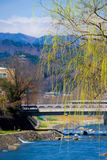 Yellow leaved willow tree royalty free stock images