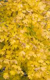 Yellow leaves. Texture. Yellow leaves of a maple Royalty Free Stock Images