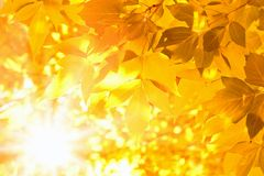 Yellow leaves. Bright sunshine, season fall Stock Images