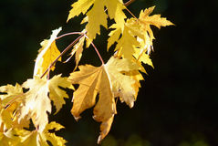Yellow leaves. The leaves of a liquidambar light illuminated by the sun Stock Photography