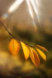 Yellow leaves. Autumn yellow leavs on the branch of the tree and the beam of the star (sun Stock Image