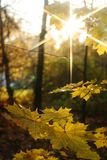Yellow leaves. Autumn yellow leavs on the branch of the tree and the beam of the star (sun Stock Photo
