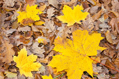 Yellow leaves. Yellow decorative maple leafs fall backgrond Royalty Free Stock Image