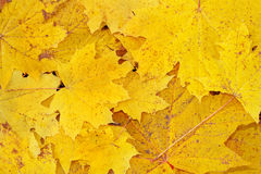 Yellow leaves. Yellow decorative maple leafs fall backgrond Stock Photos