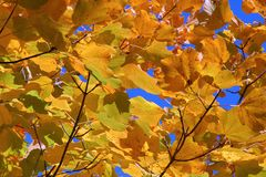 Yellow leaves. Beech yellow leaves on blue sky Royalty Free Stock Photo