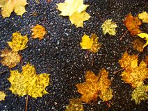 Yellow leaves against the background of wet asphalt. stock photography
