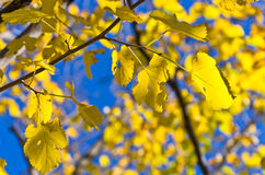 Yellow leaves against blue sky Stock Images