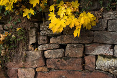 Yellow leaves against a brick wall. Yellow autumn leaves against an old brick wall Stock Photo
