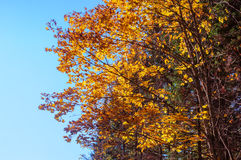 Yellow leaves against the sky. Bright autumn landscape, yellow maple leaves against the blue sky Stock Photography