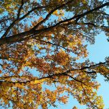 Yellow leaves against the sky. Yellow leaves treetop blues sky Stock Photos