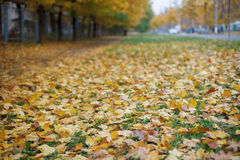 Yellow leaves Royalty Free Stock Photo