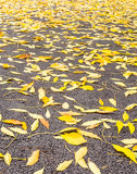 Yellow leaves of ash on the gray asphalt Stock Image
