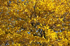 Yellow leaves of the ash-tree in sunlight in Autumn stock photo