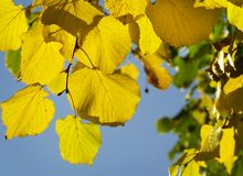 Yellow leaves. Stock Image