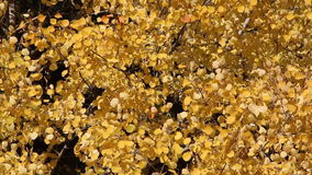 Yellow leaves of aspen shivering on the wind autumn stock video footage