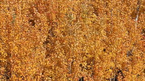 Yellow leaves of aspen shivering on the wind autumn stock video