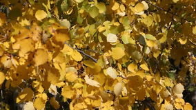 Yellow leaves of aspen shivering on the wind autumn stock footage
