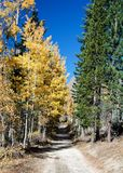Yellow leaves of Aspen trees and green leaves of pine trees on t Stock Photos