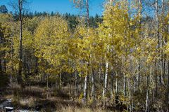 Yellow leaves of Aspen trees in Nevada in the Fall Royalty Free Stock Image