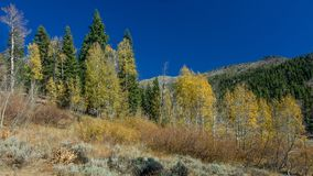 Yellow leaves of Aspen trees in Nevada in the Fall Stock Photos