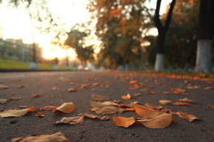 Yellow leaves. On an asphalt blurred urban background autumn Royalty Free Stock Photography