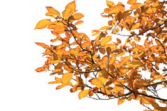 Yellow leaves in autumn Royalty Free Stock Images