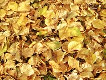 Yellow leaves. Yellow autumn leaves Stock Images