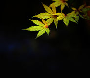 Yellow leaves in Autumn. Add your own text on black space. Beautiful colorful fall Autumn season scene of yellow leaves isolated on black background Stock Photo