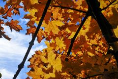 Yellow leaves of autumn against the blue sky, autumn background royalty free stock photos