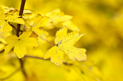 Yellow Leaves. Yellow autumn leaves on a background of yellow Stock Images