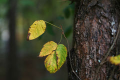 Yellow leaves in Autumn. Beautiful yellow leaves in Autumn in forest Stock Images