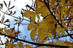 Yellow leaves. In autumn with blue sky Stock Photos