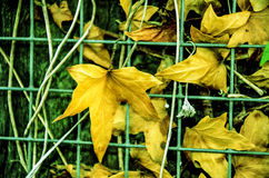Yellow leaves. Autumn, yellow/brown leaves trough metal net on the tree ,nature royalty free stock photography