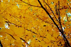 Yellow leaves. Autumn in the city, yellow leave, yellow trees Stock Photography