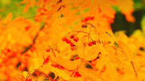 Yellow leaves at autumn fall Stock Photography