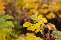 Yellow leaves in autumn forest royalty free stock image